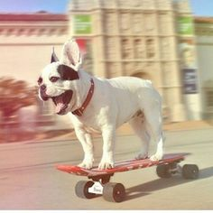 French Bulldog – Playful and Smart Baby Animals, Funny Animals, Cute Animals, Dog Love, Puppy Love, Animal Pictures, Cute Pictures, Penny Skateboard, Puppies And Kitties