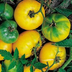Azoychka Russian Tomato | Heirloom