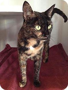 Philadelphia, PA - Domestic Shorthair. Meet Kia, a cat for adoption…