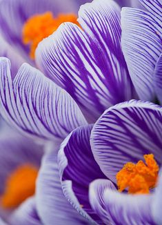 size: Photographic Print: Pickwick crocus Poster by Clive Nichols : Cut Flowers, Pretty Flowers, Lotus Flowers, Drawing Flowers, Painting Flowers, Small Flowers, Rock Painting, White Flowers, Macro Flower