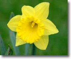 Daffodils are the perfect Spring flower! Shades of white, cream and yellow are beautiful for Spring weddings.