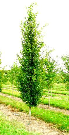 Carpinus betulus (grab pospolity) 'Frans Fontaine'