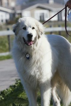 Great Pyrenees. www.doggifit.com
