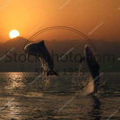 Stock photo of oceanview two beautiful dolphins leaping from sea - Orange sunset at the sea and two beautiful playful dolphins jumping up from water Dolphins, Sea, Stock Photos, Sunset, Orange, Water, Illustration, Movie Posters, Beautiful