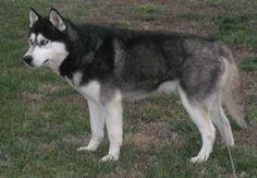 Hoobly: wolf hybrid husky puppies..
