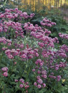 Isotähtiputken kukat kasvavat sarjoissa samalla tavalla kuin sukulaistensa koiranputken ja siankärsämön. Mehiläiset ja perhoset nauttivat niiden medestä. Plants, Garden, Patio