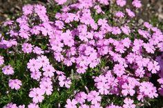 25 talajtakaró növény, melyekkel gyönyörűvé teheted a kertet! Ground Cover Plants, Garden Deco, Garden Planning, Gardening Tips, Perennials, Diy And Crafts, Succulents, Backyard, Outdoor