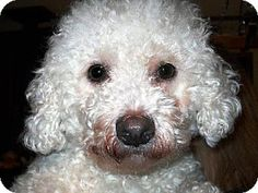 Facts about Zuri Breed: Bichon Frise Color: White Age: Adult Size: Small 25 lbs (11 kg) or less Sex: Female ID#: 3100242 My name is Zuri!      Zuri's Info... I am already spayed, purebred, a special needs pet, up to date with shots, not good with kids, good with dogs, and good with cats.