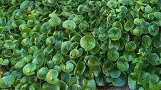Europeisk hasselört Asarum europaeum Marktäckande, krypande och vintergrön växt. Glänsande läderartade blad som ger ett exklusivt intryck. Oansenliga blommor som döljs i bladverket. Förnämlig som matta under buskar och träd. Bladverket kan skadas av barfrost under vintern, men på våren repareras det med nya fräscha blad som snabbt täcker över de gamla. Höjd 10–15 cm. Halvhärdig. Trivs i halvskugga–skugga.