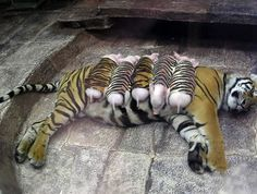 A tiger that had lost its cubs and became depressed, was given cub substitutes in the form of piglets to help treat the depression. Tiger and piglets are doing well :-)))