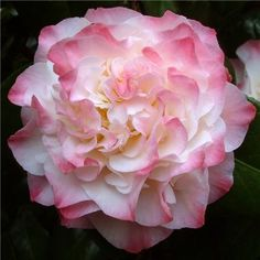 Camellia japonica 'Nuccio's Jewel' I need to plant this in place of Jim's holly!
