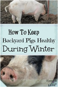 Are you considering raising backyard pigs for meat through the seasons? Here's how to keep backyard pigs healthy during winter. Raising Farm Animals, Raising Chickens, Pig Fence, Chicken Garden, Chicken Coops, Pig Shelter, Kune Kune Pigs, Pig Showing, Pot Belly Pigs