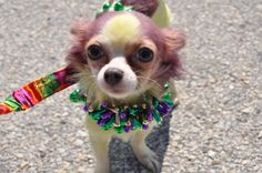This pooch is ready for the Krewe of Barkus & Meoux Parade this Sunday!
