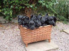 Scottish Terrier puppies in a basket