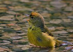 Orange-crowned Warbler  Dauphin Island, AL  2008