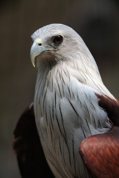 Bird of Prey - African Sea Eagle - by Andre Eggenschwiler