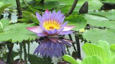 blue lotus, flower, nymphaea caerulea, aquatic plant    Public Domain CC0