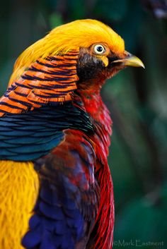 Golden Pheasant | Photo by Mark Eastment