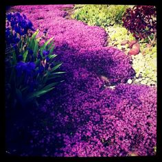 "A beautiful ""river"" of purple flower ground cover. I love it!"