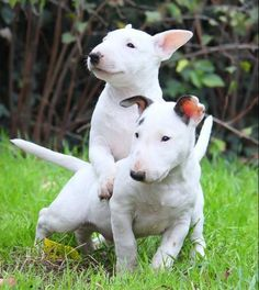 Rumble in the Jungle -, we play hard ! #Bull Terrier
