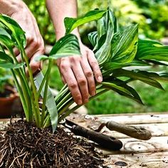 Splitting hostas every two to three years is a great way to multiply your riches. We show you how. thisoldhouse.com