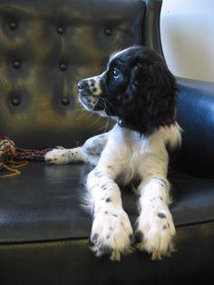 Springer Spaniel  love this cutie!