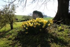 Daffodil hill in the spring sunshine Daffodils, Sunshine, Country Roads, Spring, Plants, Daffodil, Plant, Planting, Planets
