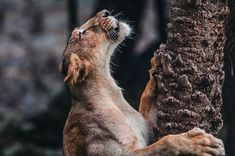 The Lioness Photo by Kotagauni Srinivas — National Geographic Your Shot