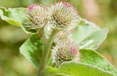 Edible weeds:  burdock. Peel flower stalk, eat like celery.  Roots can be boiled and eaten.