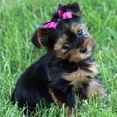 Yorkie puppy...I want one now!