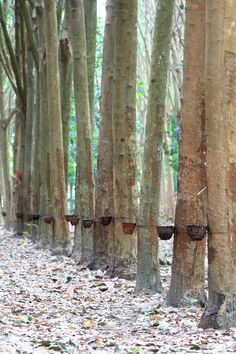 Rubber trees being used to harvest latex. Our natural latex mattress toppers use latex harvested in this way. Natural Latex, Natural Rubber, Tree Story, Latex Pillow, Latex Mattress, Rubber Tree, Hostel, Jute, Offices