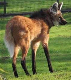 A lobo-guara (Chrysocyon brachyurus), also known as a maned wolf. It is the only species in the genus Chrysocyon   image by sarefo