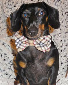 Burberry Plaid Bow Tie Dog Collar for Wedding by DESIGNERSHINDIGS, $24.95