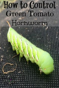 how to get rid of tomato worms organically