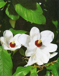Junimagnolia - Magnolia sieboldii.