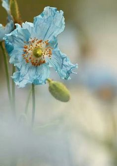 Beautiful blue poppy