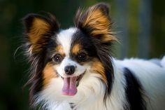 Papillon Dog Temperament