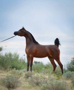 Arabian Horse - Evening Song IA - Mare