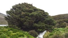 A remote spruce planted on a Southern Ocean island holds a defining record of humans, scientists argue.