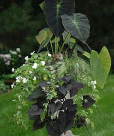 THRILL Elephant ear - Colocasia esculenta 'Black Magic', FILL Impatiens walleriana 'Accent White', annual, Begonia 'Escargot', Carex comans 'Amazon Mist', SPILL English ivy - Hedera helix, Sweet potato vine - Ipomoea batatas 'Ace of Spades'