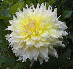 Dahlia 'Wyns Farmer John' ( my Uncle John :-) Lawn And Garden, Garden Beds, Dahlia, Summer Plants, Bulb Flowers, The Most Beautiful Girl, Dream Garden, Permaculture, Natural