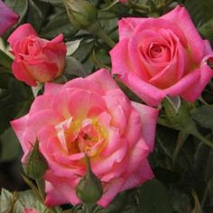 You're the One - Miniature Rose    Available @ Bluemel's Garden Center 2015 www.bluemels.com