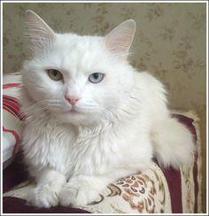 96e9c9f5356530 63 Best Turkish Van Cats images
