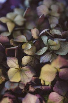 hortensia pivoine