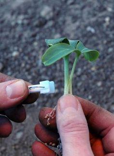 Krok za krokom: Vrúbľujeme uhorky a dyne - Pluska.sk