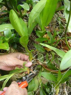 Como envasar sua orquídea Growing Orchids, Growing Plants, Orchids Garden, Orchidaceae, Agaves, Cool Plants, Tropical Plants, Horticulture, Garden Projects