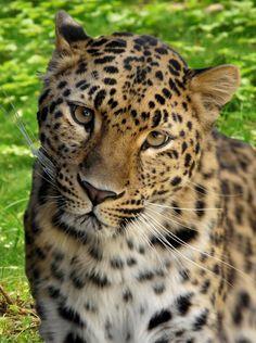beautiful leopard            via Wil Cunningham