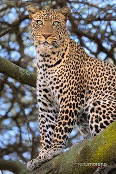 Eyes of a Leopard -   Ndutu in Northern Tanzania