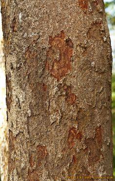 Tre bark texture - http://thetextureclub.com/wood/tre-bark-texture