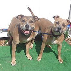 Marietta, GA - Pit Bull Terrier. Meet ANNA see also Maria see video! a Dog for Adoption.